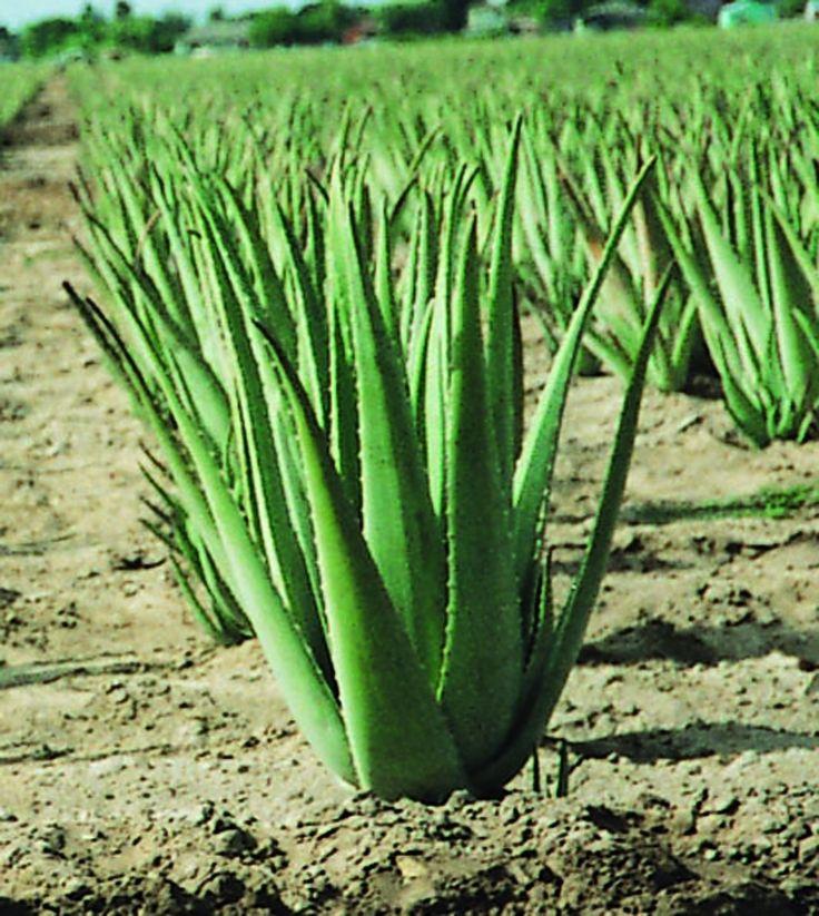 Cultivo de la planta de Aloe Vera