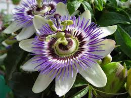 Pasiflora combate el estrés y cura la ansiedad