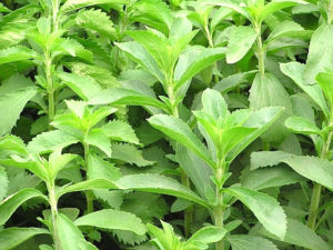 Stevia planta - Beneficios
